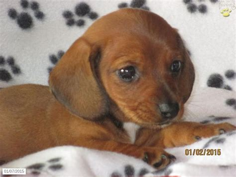dachshund puppies for sale in lancaster pa 92 best images about adorable puppies for sale on