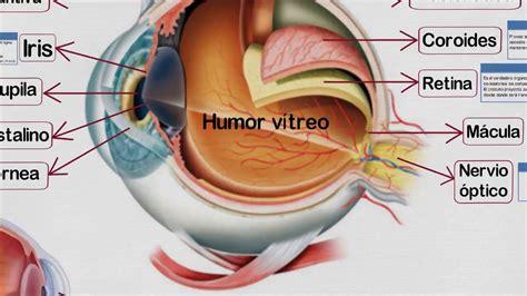 Imagenes De Ojos Humanos Y Sus Partes | partes del ojo humano y sus funciones youtube