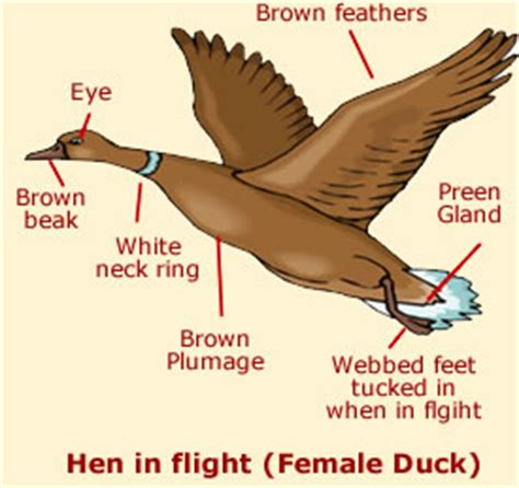 duck diagram duck anatomy facts diagrams of ducks anatomy