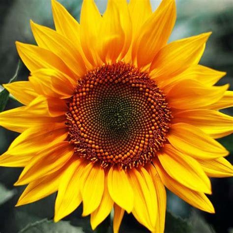 Biji Bunga Matahari Per Kilogram bunga matahari lokal bungahias net