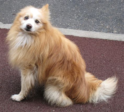 spitz and pomeranian mix pin japanese spitz pomeranian mix on