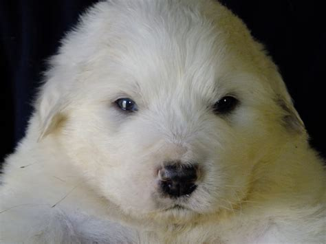 great pyrenees puppy our simple farm the shock s great pyrenees puppies are here