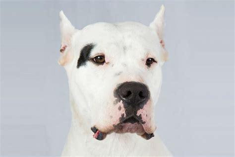 dogo breed dogo argentino breed information american kennel club