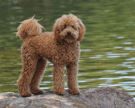 mini goldendoodle traits best 25 goldendoodle temperament ideas on