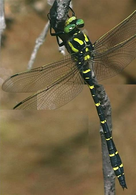frank weiß notes on some southern dragonflies