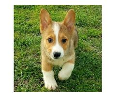 corgi puppies for sale houston animals houston free classifieds
