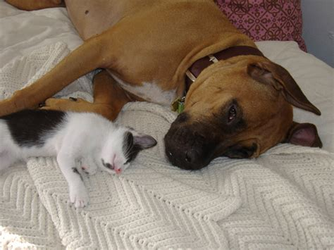 cat friendly dogs top 10 cat friendly breeds puppywire