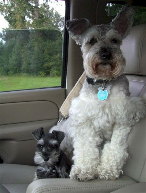18 things miniature schnauzer parent knows to be true