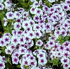 St Bunga Panjang macam macam tanaman hias polemoniaceae yang menawan
