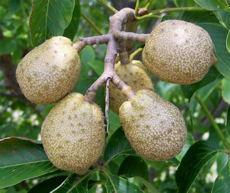 ohio buckeye tree fruit pictures to pin on - Best Fruit Trees For Ohio