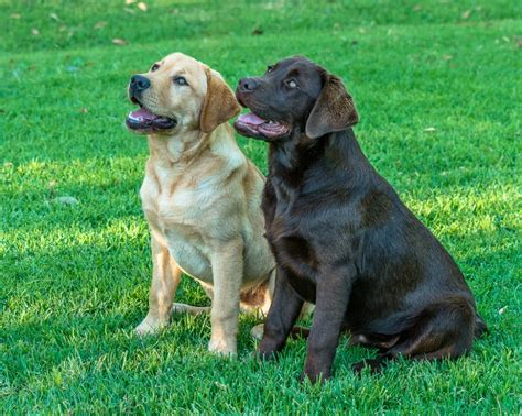 golden lab puppies for sale near me 2017 miniature labrador puppies height pictures images wallpapers