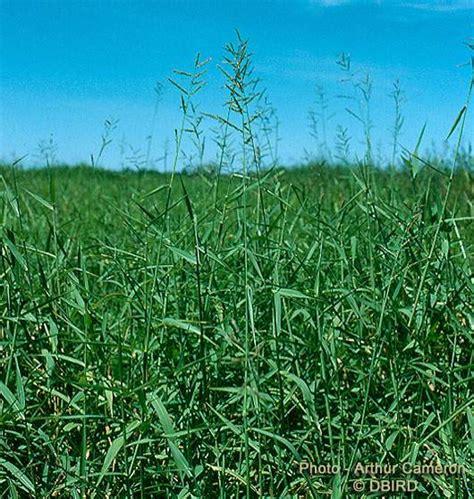 Scientific Name Of Grass by Factsheet Para Grass