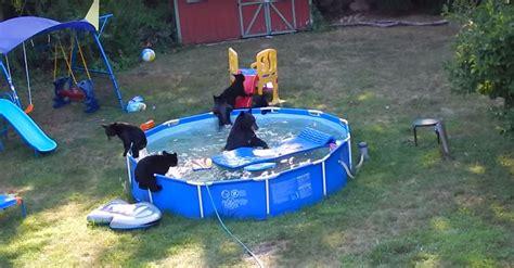 Bears Backyard Pool Family Of Bears Enjoys Epic Pool In Nj