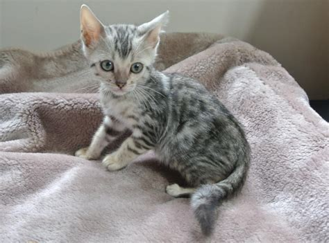 baby bengal kitten prices fantastic silver bengal kittens available wolverhton