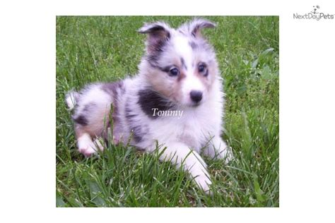 akc sheltie puppies for sale shetland sheepdog sheltie for sale for 600 near western maryland maryland