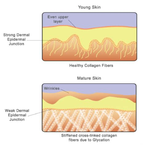 Collagen Skin collagen fibers in skin www pixshark images galleries with a bite