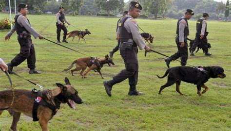 how are dogs trained to detect drugs bnn to beagles kintamani dogs to detect drugs national tempo co