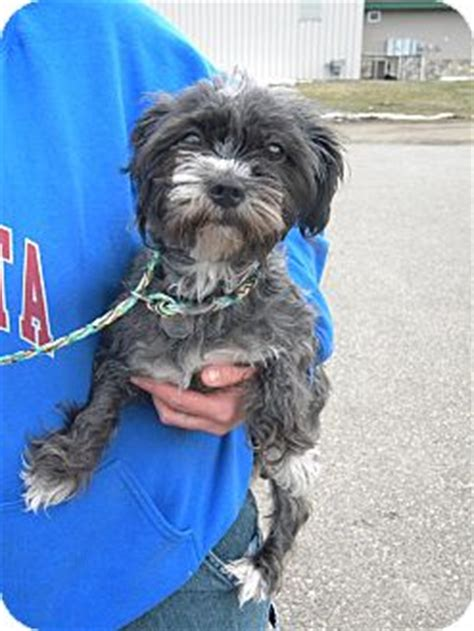 havanese dachshund mix adopted river falls wi havanese dachshund mix