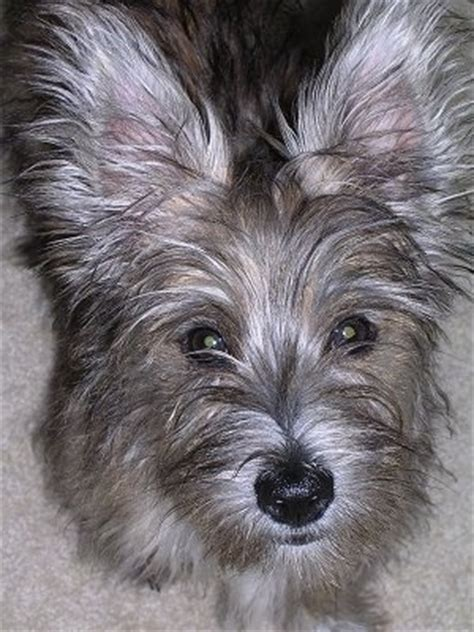 yorkie and westie mix fourche terrier breed information and pictures