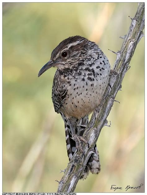 cactus wren is a species of wren that is native to the