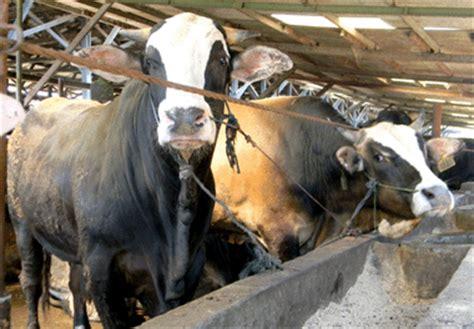 distan bantenprov go id pola usaha penggemukan sapi