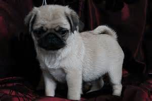 Cute pugs puppies for sale 163 700 posted 2 hours ago for sale dogs pug