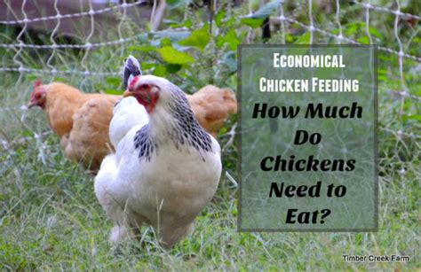 how much is food how much food does a chicken need timber creek farm