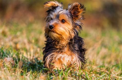 teacup yorkie lifespan 120 best yorkies terrier daily images on yorkies teacup dogs and