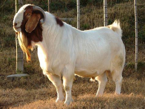 breeds for goat breeds information sheepfarm in