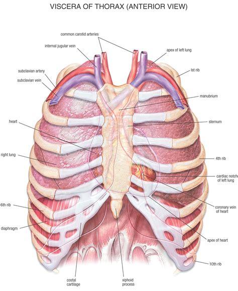 chest anatomy diagram index of diglib chest
