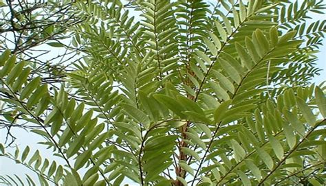 herbal pusaka indonesia