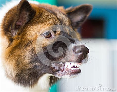 rottweiler growls when petted snarling threats stock photo image 55945099