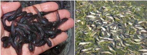 Harga Bibit Ikan Nila Per Ekor benih ikan air tawar jual benih ikan murah