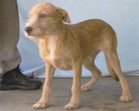 golden retriever mixed with terrier updated adoptable dogs in beaumont beaumont enterprise
