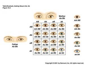 punnett square eye color genetics 171 kaiserscience
