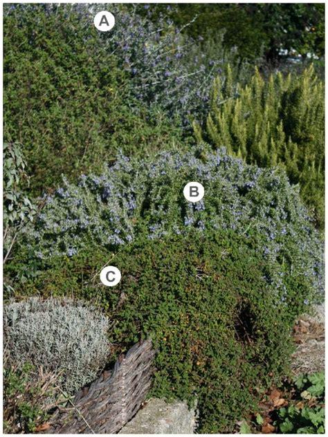 fiori canelle viola piante aromatiche aboutgarden