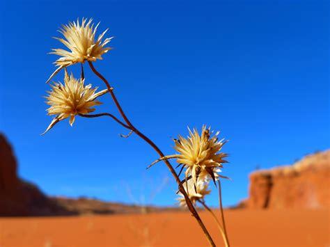 desert flower file desert flower utah jpg