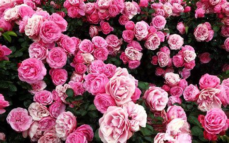 rose bush  pink roses wallpaper png transparent