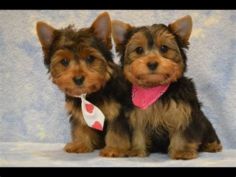yorkie potty tips yorkie puppies potty trained 6 tips to housetraining a terrier
