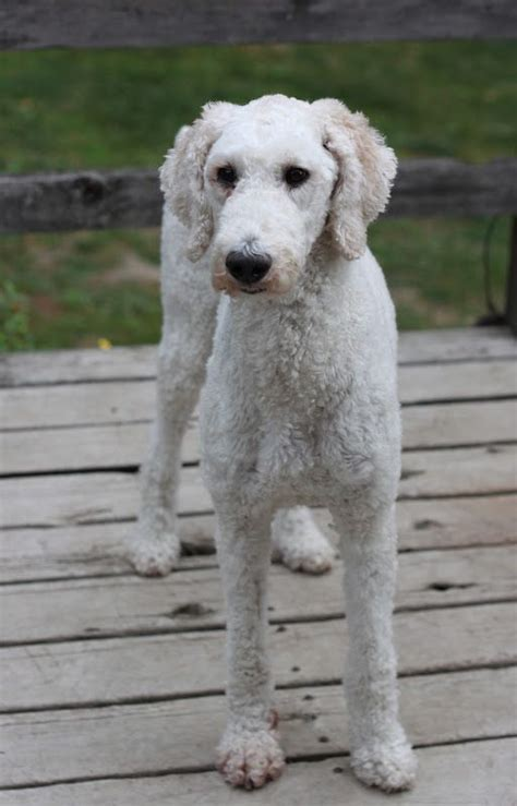 grooming standard poodles cuts 31 best my girls pearl and oreo images on pinterest