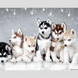 Cute Husky In Snow | 1280 x 1024 jpeg 359kB