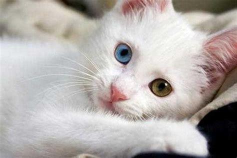 Mata Kucing Pink kucing mata biru ciri ciri fakta dan mitos jenis