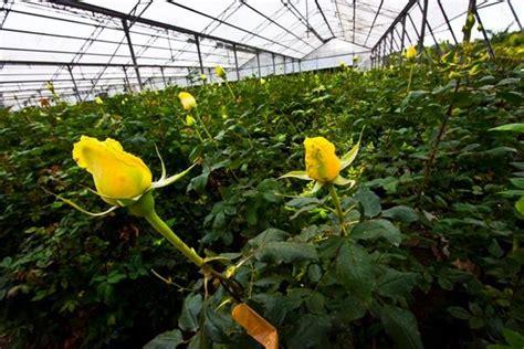 menanam mawar hidroponik 6 jenis tanaman hidroponik untuk ditanam di rumah