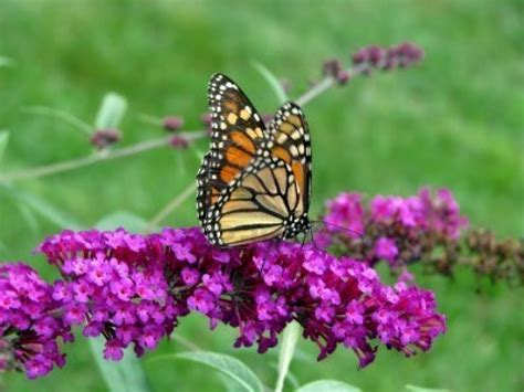 10 colorful and rich nectar flowers that attract butterflies to the garden the self sufficient