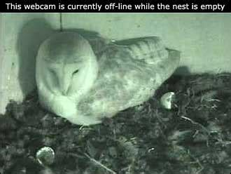 bbc devon webcams watch the owl chicks