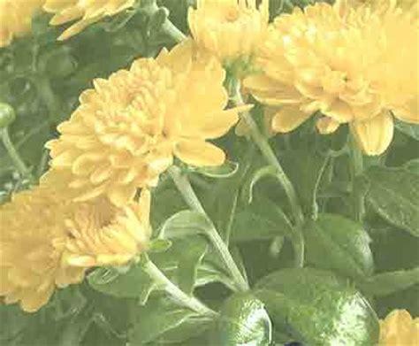 bunga krisan seruni berkhasiat obati mata bengkak