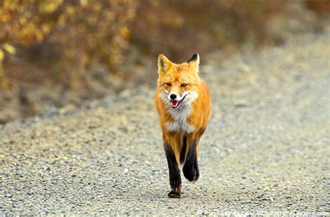 Jufm20 Bodysuit Movement Blue Animal fox the of animals