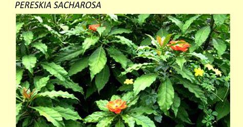 Jarum Pentul Daun kesehatan tanaman jarum tujuh bintang