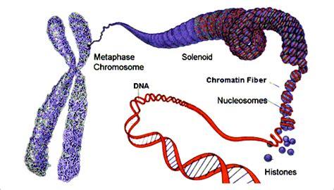 chromatin diagram chromosome structure proteins creative biomart