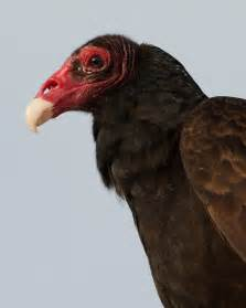 turkey vulture the whisker chronicles